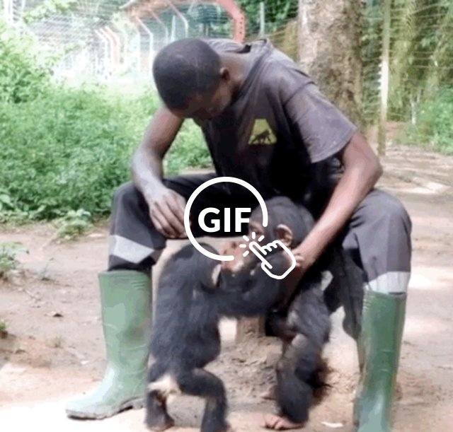 Rescued baby chimps hug at Cameroon sanctuary