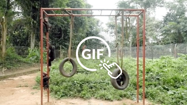 Rescued baby chimps play on swings