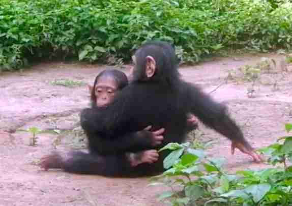 Rescued baby chimps hug at Africa sanctuary