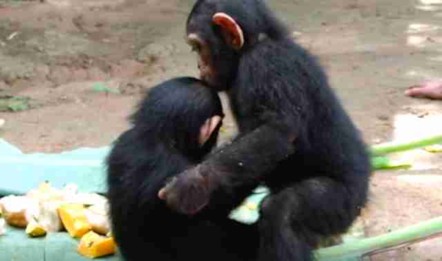 Chimps kiss at sanctuary