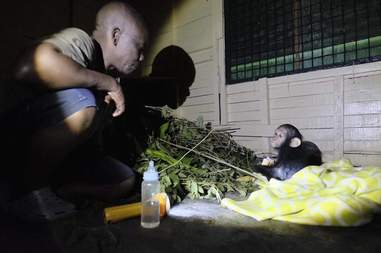 Rescued baby chimp in Cameroon