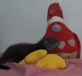 baby otter gets a stuffed robin friend