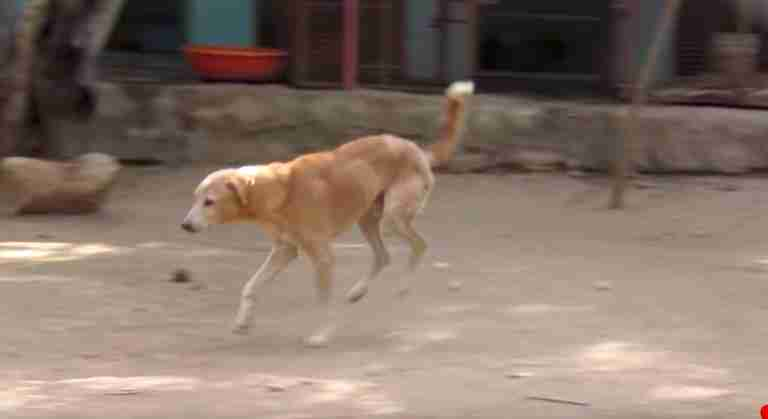 injured dog rescued and walks again