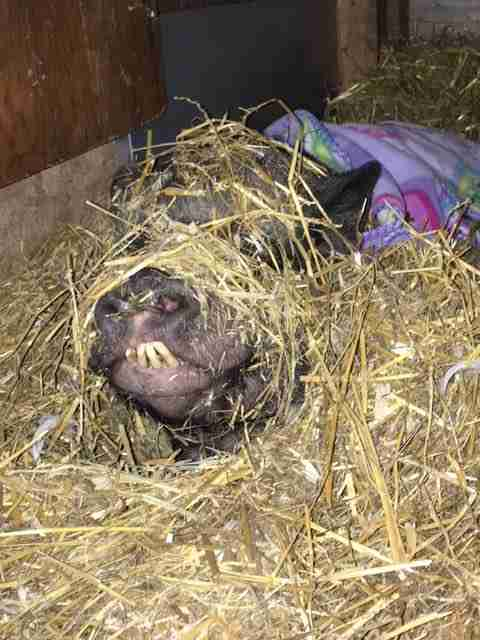 Rescued potbellied pig playing in hay