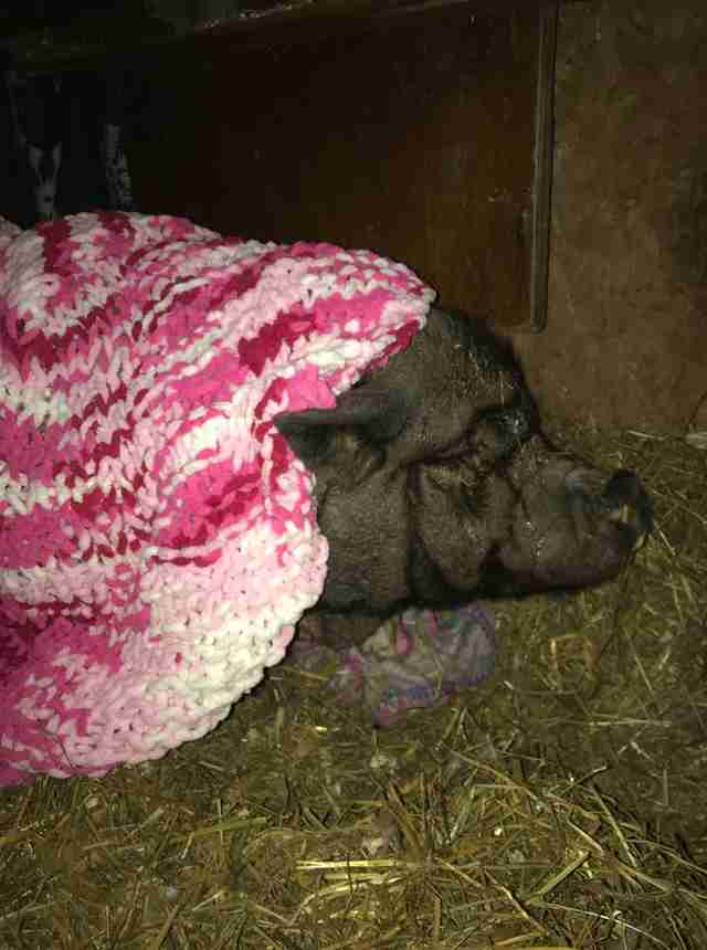 Rescued potbellied pig in blanket