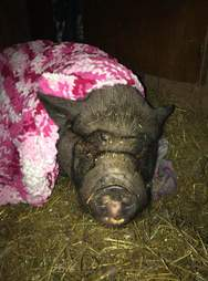 Rescued potbellied pig in blanket