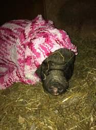 Rescued pig in a blanket