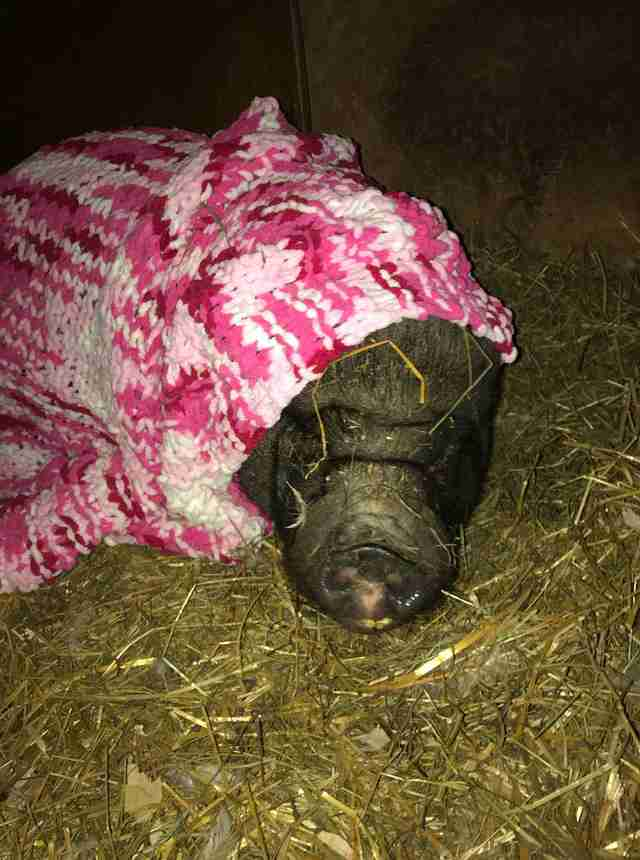 Rescued pig in a blanket