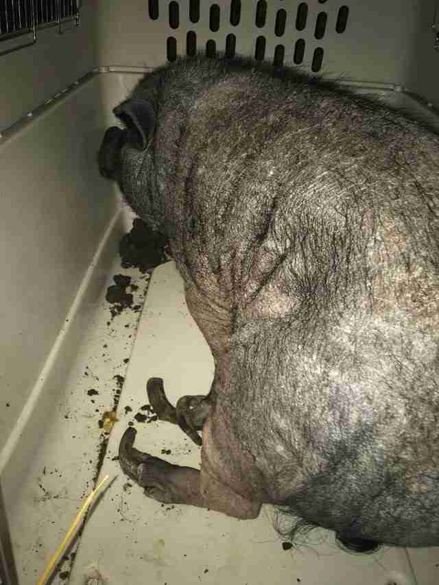 Neglected potbellied pig with overgrown hooves