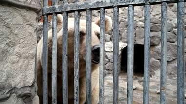 Bear inside cage in Armenia
