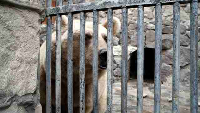 Bear inside cage in Armenia