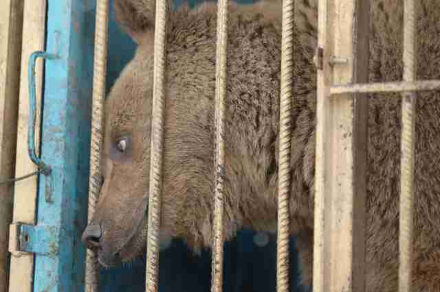 Bear kept inside cage in Armenia