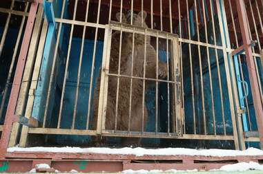 Bear inside cage