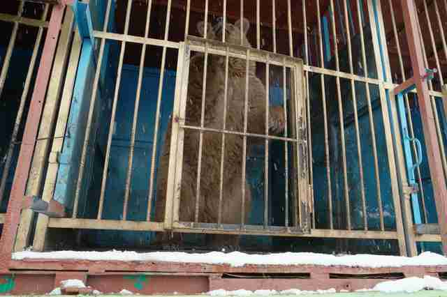 Bear inside cage