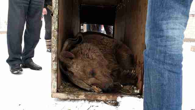 Bear being transported in box