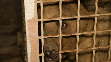 Bear kept inside metal cage