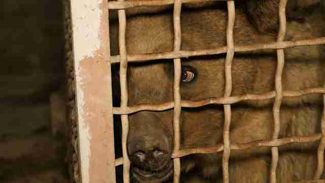 Bear kept inside metal cage