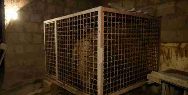 Bear kept inside small cage