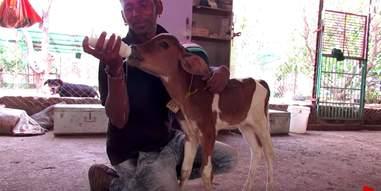 injured baby calf