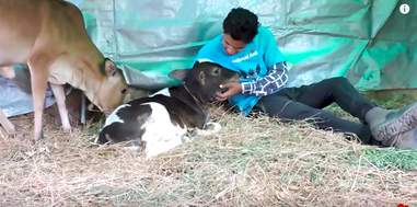 injured baby cow