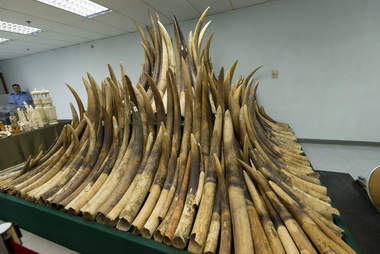 Stockpile of seized ivory