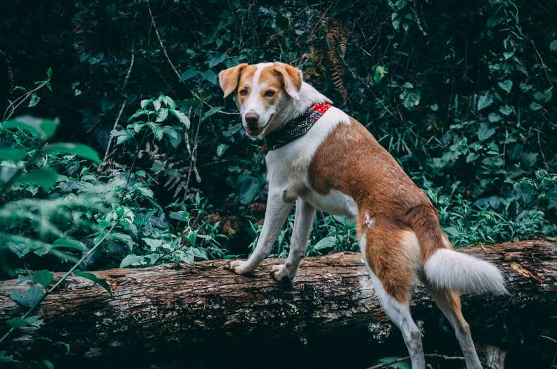 Dog with collar standing up on a log