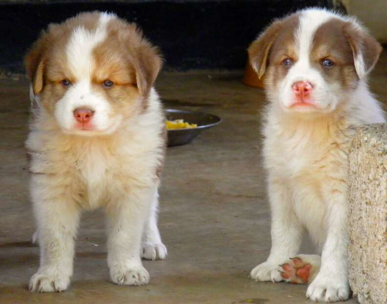 Two puppies posing together