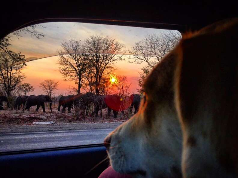 Dog looking outside at wild elephants