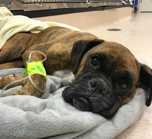 Boxer Makes Miraculous Recovery From Life At Amish Puppy