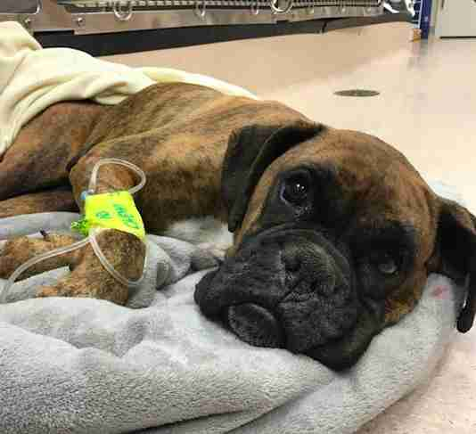 boxer rescue puppy mill pennsylvania