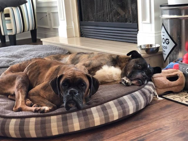 Boxer Makes Miraculous Recovery From Life At Amish Puppy Mill - The Dodo