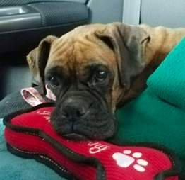 rescue boxer puppy mill pennsylvania