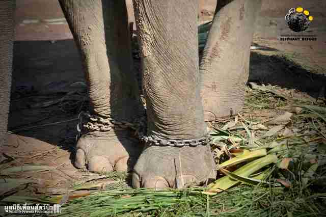 Chained elephant in Thailand