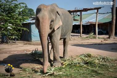 Trekking elephant in Thailand