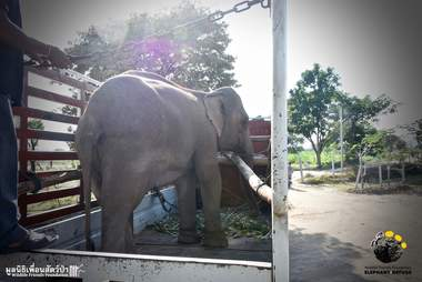 Captive elephant being transported in Thailand