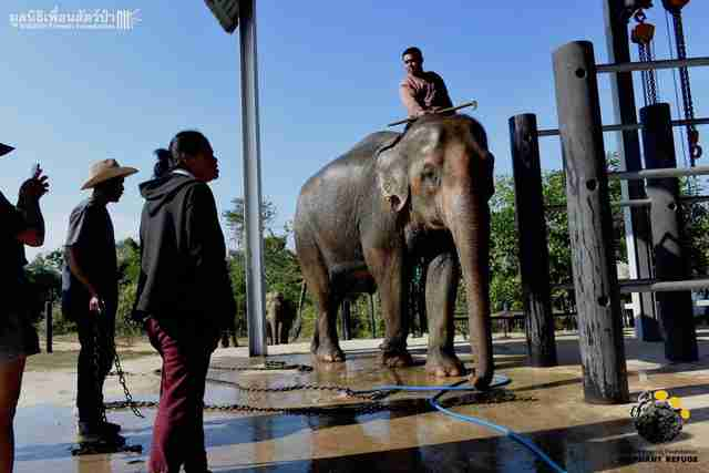 Captive elephant being temporarily transferred to Thai sanctuary