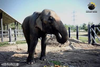 Problematic captive elephant eating fruit at sanctuary