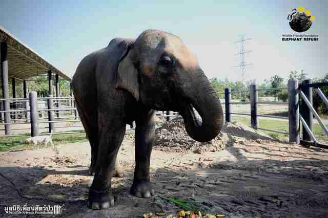 Problematic captive elephant eating fruit at sanctuary