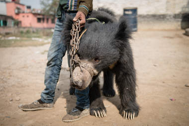 Man holding dancing bear by chain