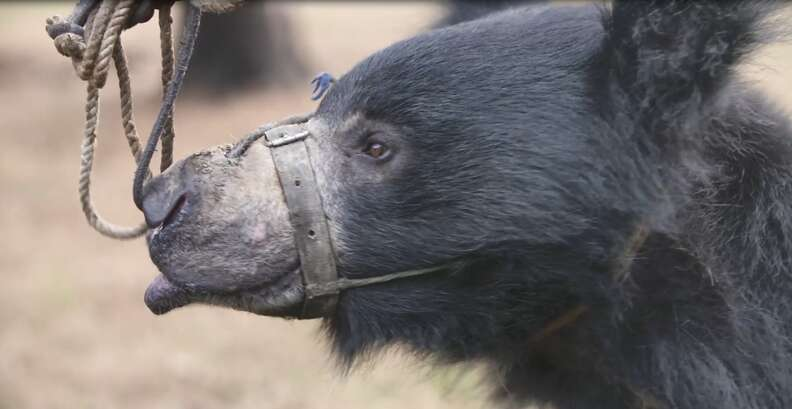 Dancing bear chained by the snout
