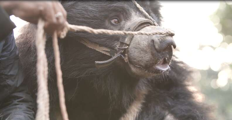 Dancing bear tethered by snout