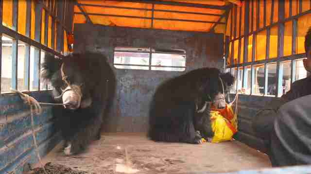 Rescued dancing bears inside of truck