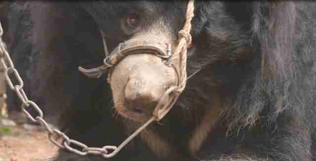 Dancing bear chained up by snout