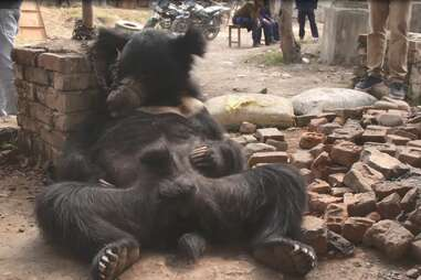 Dancing bear chained up outside
