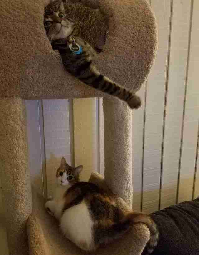 Sophie and Evee hang out in their cat tree in Utah