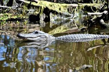 barataria preserve alligator
