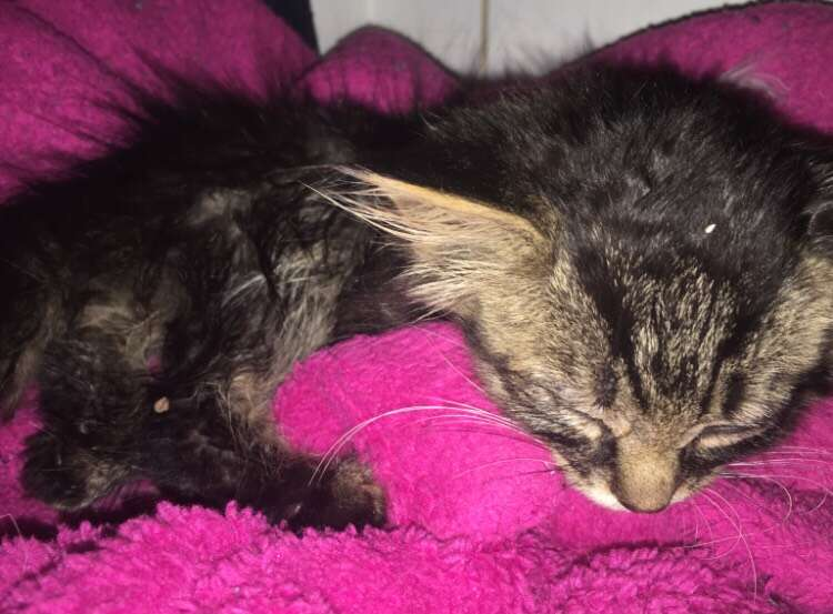 Stray kitten brought back to life in Indiana