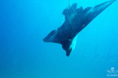 Eagle ray caught inside shark net