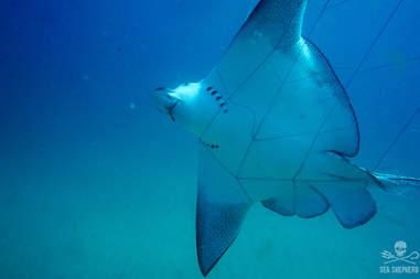 Eagle ray caught in net