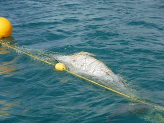 Dolphin caught inside shark net